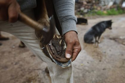A farm worker shods his horse on the outskirts of the municipality of Valparaíso, Zacatecas state, Mexico, Tuesday, July 13, 2021. When violence erupts in the area, farmers often can't go out to feed their livestock. (AP Photo/Marco Ugarte)