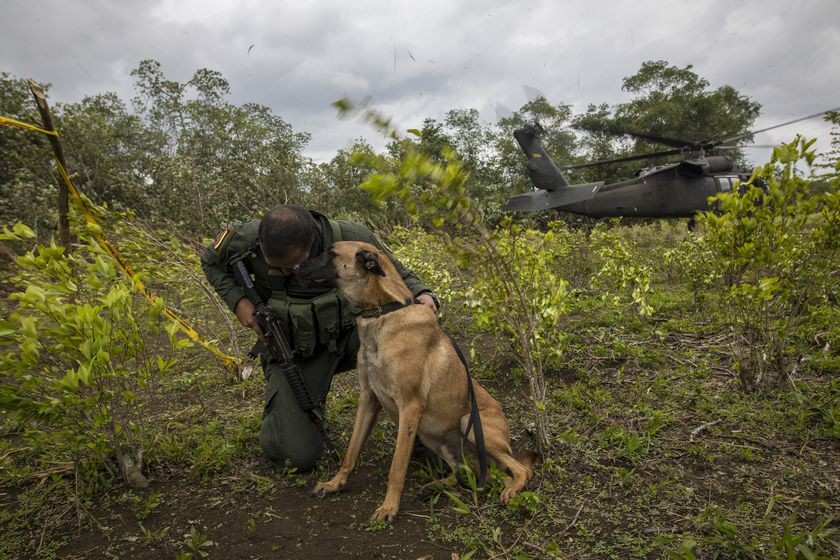A counter-narcotics police officer and his dog takes cover while a helicopter takes off from a coca field during a manual eradication operation in Tumaco, southwestern Colombia, Wednesday, Dec. 30, 2020. (AP Photo/Ivan Valencia)