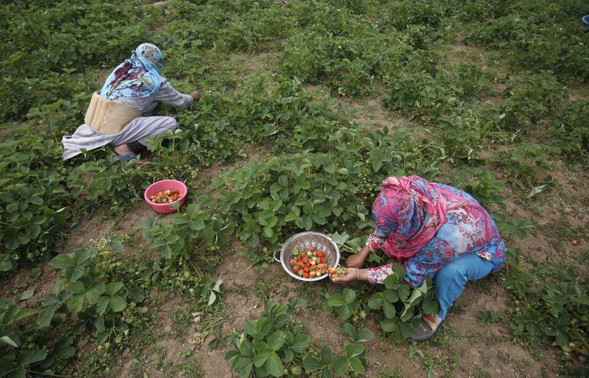 Strawberry production in Kashmir